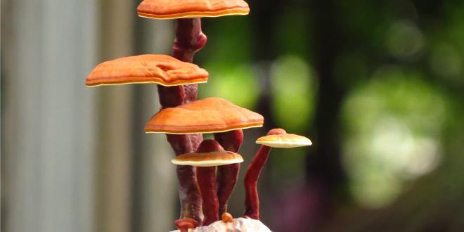 reishi mushrooms growing in a bonsai shape